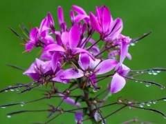 醉蝶花盆景发芽后怎么养护 有什么方法