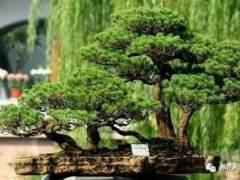 浅谈盆景知识之四大类植物盆景