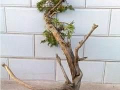 如何处理盆景树桩切口?