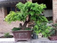 红豆杉盆景的5个制作步骤值得收藏