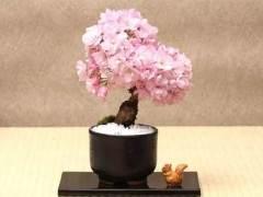樱花盆景怎么养?用这5个步骤