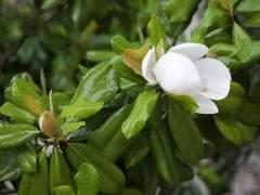 广玉兰盆景怎么养护 想要开花还需要注意什么