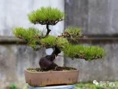怎么养护黑松盆景发芽 图片