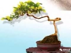 秋季金银花盆景的制作与养护