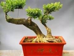瓜子黄杨老桩盆景怎么养护的方法
