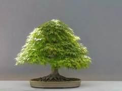 怎样养好红枫盆景发芽 怎么施肥和浇水