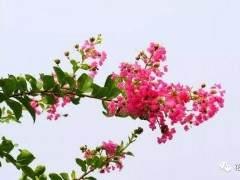 紫薇盆景怎么养护好看 图片