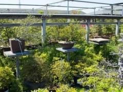 购买杜鹃花盆景的一些注意事项