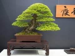 来自世界盆景大会上Keiunan收藏的盆景