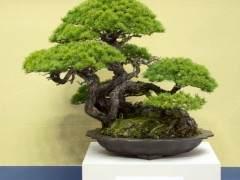 来自世界盆景大会上Funayama收藏的盆景