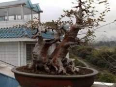 榆树盆景夏天放哪里最好?