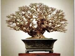 柯成昆的榕树盆景之作《十八罗汉》
