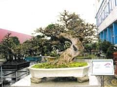 首届国际盆景协会中国区展览即将拉开帷幕