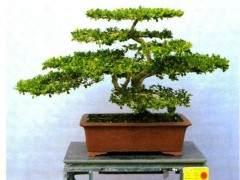 云南黄杨盆景可分为5个品种