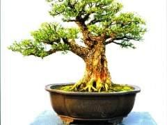 云南豆瓣黄杨盆景生根后怎么移栽和养护