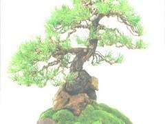 香港盆景艺术家 -- 丹·巴顿