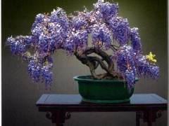 紫藤在观花类盆景中也是韵致别具 深得消费者青睐
