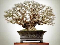 看到柯成昆先生《十八罗汉》榕树盆景时