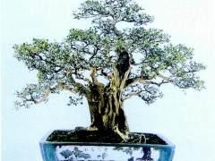 九里香盆景欣赏及病虫害防治