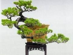 中国盆景艺术大师郑永泰先生数十年如一日