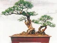 雀梅盆景的养护管理谈