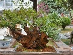 一盆黄杨盆景 买家曾出价45万元 他都没卖