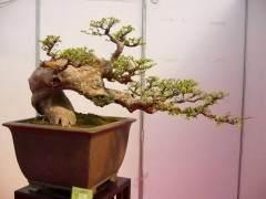 怎样对人工培育的盆景树木进行主干弯曲造型?