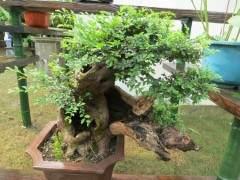 盆景树桩地栽后 应采取哪些挽救措施减少死亡?