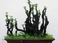 要提高野外采挖盆景树桩的成活率 应采取哪些措施?