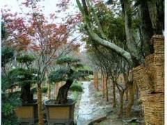 浙江花木盆景业者入驻海峡两岸盆景大世界