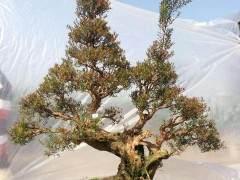 赤楠老桩盆景怎样缩枝的控制 图片