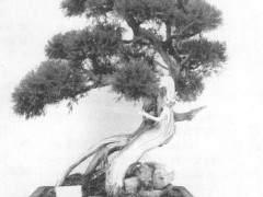 侧柏盆景的整枝造型 需3-4年养培