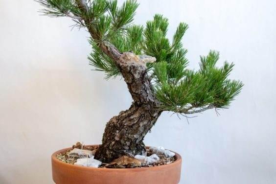 未来盆景的树干