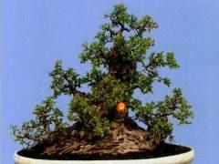 榕树最能表达岭南盆景中截干蓄枝独特的手法