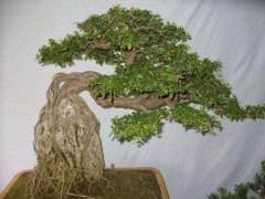 盆景树桩成活后何时开始定枝较为适宜?