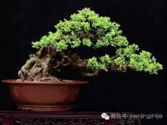 王恒亮先生将盆景作为自己终生追求的事业