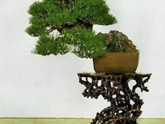 说到日本盆景 总有一些莫名的感慨 略说几点