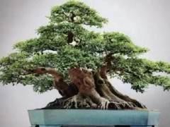 如何制作榕树盆景 图片