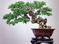 榕树老桩盆景如何造型设计的方法 图片