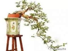 九里香盆景的养护和注意事项