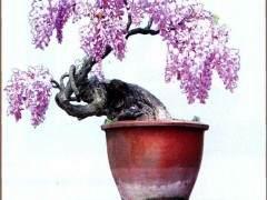 浅谈紫藤盆景的制作与栽培