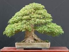 三叉戟枫树盆景怎么发芽 浇水与施肥