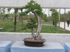 郑州为第七届全国盆景展选拔作品