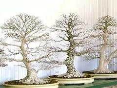 树篱枫树盆景怎么施肥翻盆的7个方法