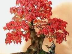 阿穆尔枫树盆景怎么施肥修剪的方法