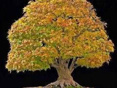 蒙彼利埃枫树盆景的施肥与修剪