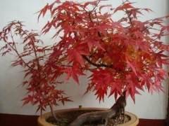 美国红枫盆景怎么发芽 修剪与施肥方法