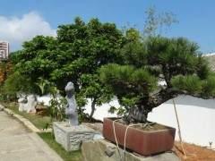 合欢树盆景怎么修剪翻盆的6个方法