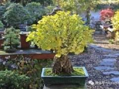 花楸树盆景怎么施肥翻盆的5个方法