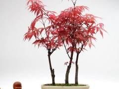 美国红枫盆景怎么发芽 浇水与修剪方法